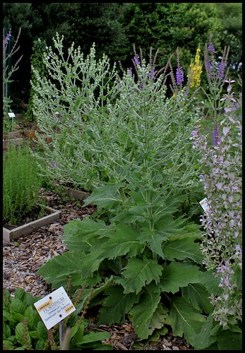 Salvia aethiopis 27873200860_17dd27bb34