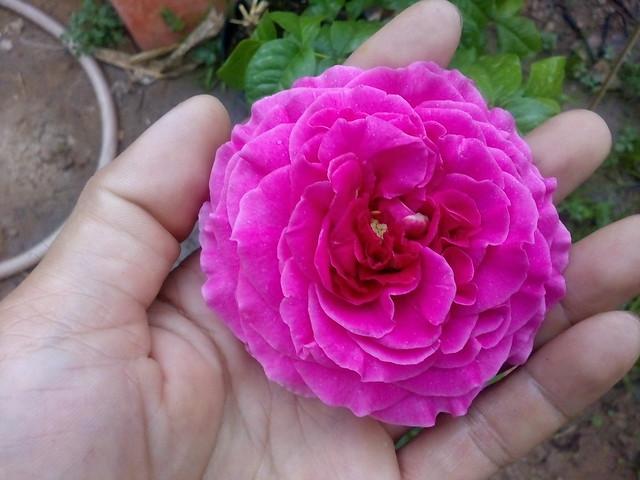 Hoa hồng Alexander of Kent Rose (1)