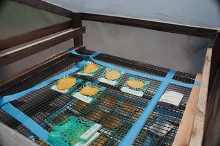 Individual slices of fruit on plastic and wire trays inside a clear plastic solar dryer chamber IMG_4089