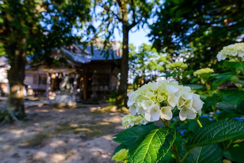 大神山神社 紫陽花 2016.6-30