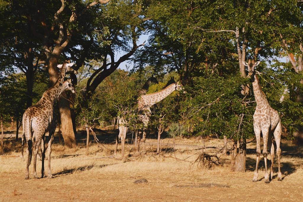 safari38