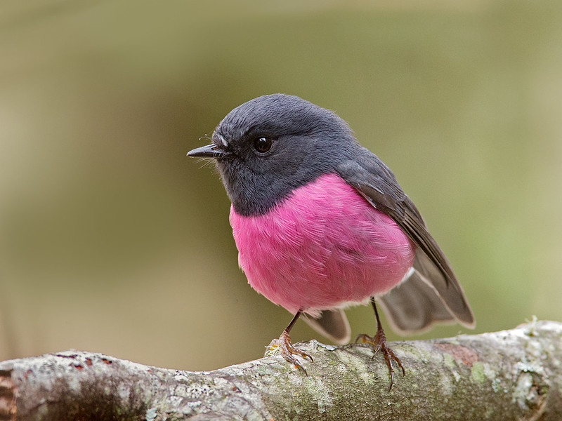 Pink Robin (Petroica rodinogaster)