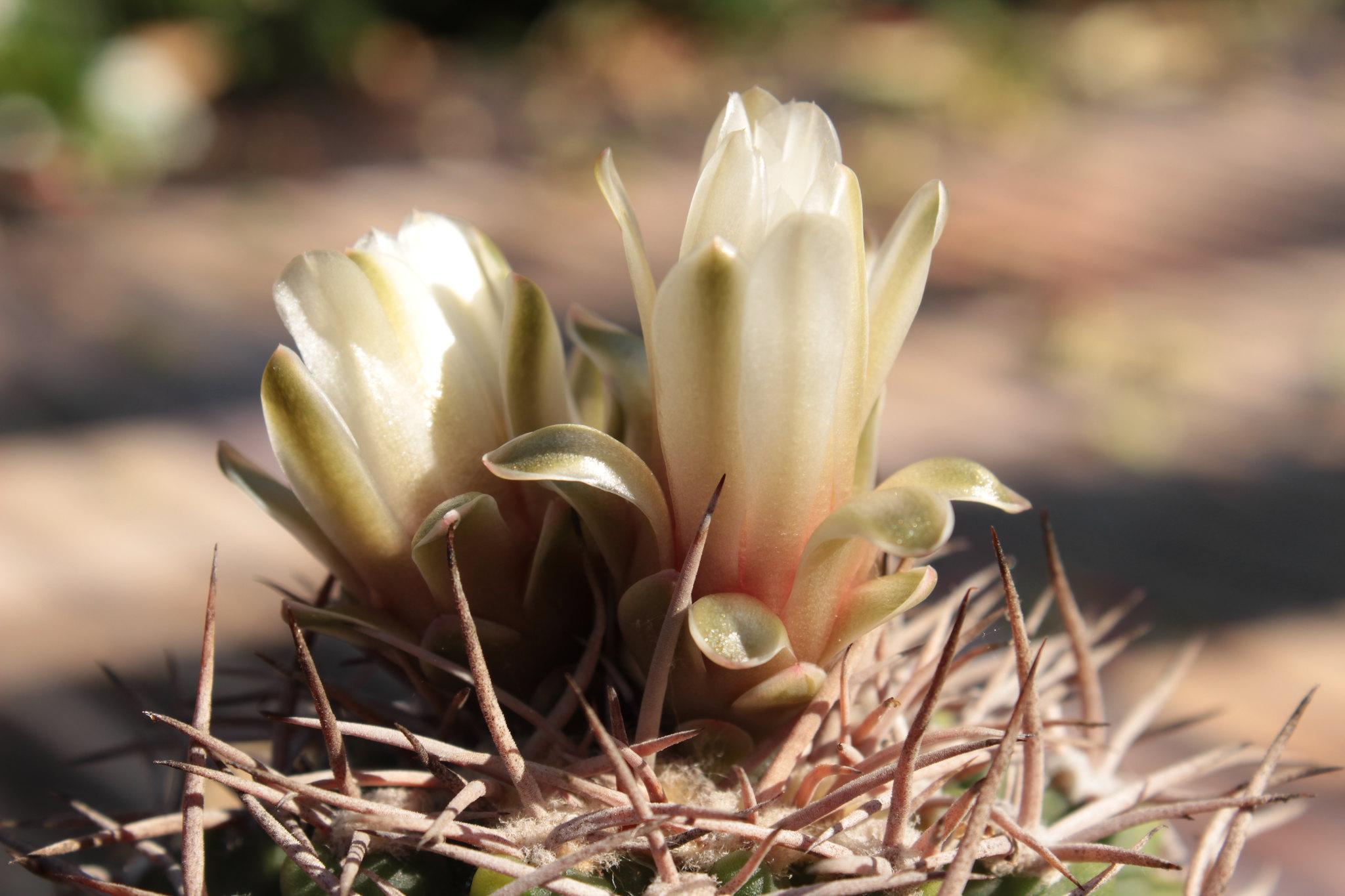 Gymnocalycium castellanosii v. bozsingianum 27295711956_33cb516b2f_k