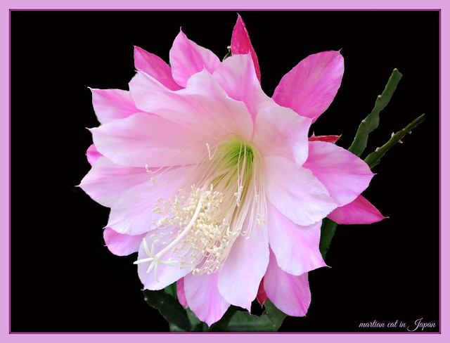 """The orchid cactus in my balcony garden continues to smile!"""
