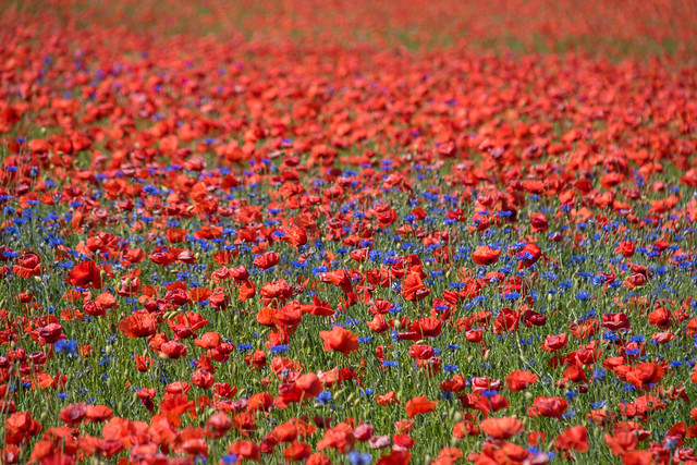 Poppies with cornflowers