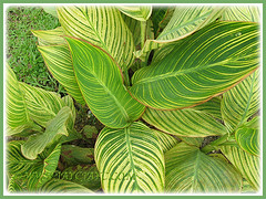 Beautiful variegated foliage of Canna Bengal Tiger, 2 May 2010