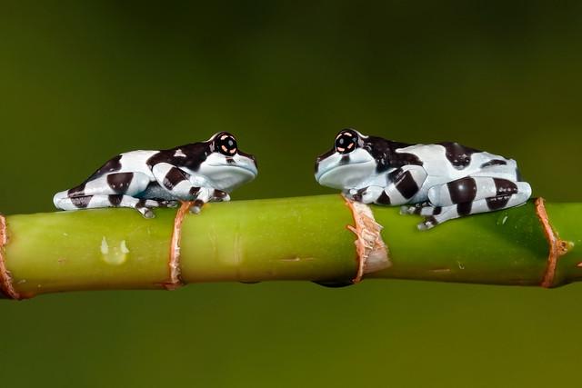 Amazon Milk Frogs, CaptiveLight, Bournemouth, UK