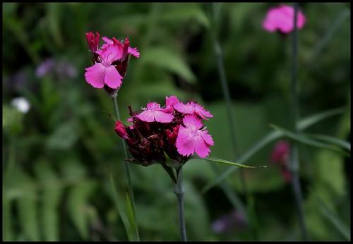 Dianthus carthusianorum (1)