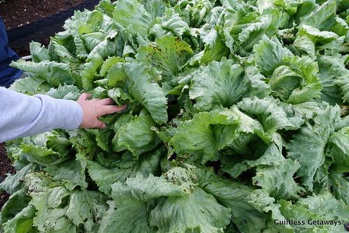 lettuce-farm-philippines.jpg
