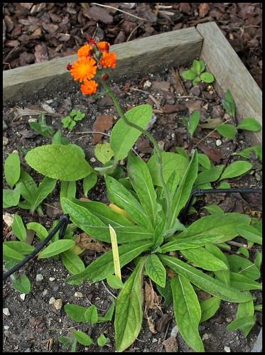 Pilosella aurantiaca ( Hieracium- épervière orangée) (1)
