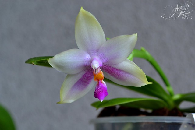 Phalaenopsis floresensis x bellina 27558878284_0ce6bfd34d_z