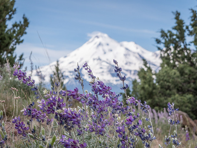 lupins and Mt. Shasta