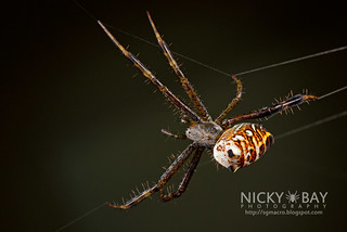 Tent Web Spider (Cyrtophora cylindroides) - DSC_2611