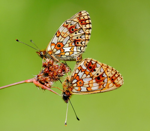 She did not wait long before the male caught her scent . Small pearl bordered fritillary  [Boloria selene]