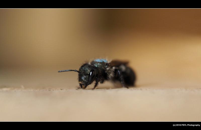 Osmia bee