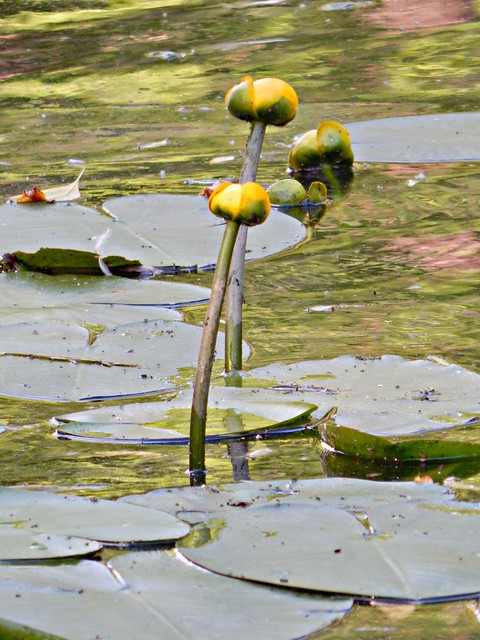 кувшинки в Люблинском пруду
