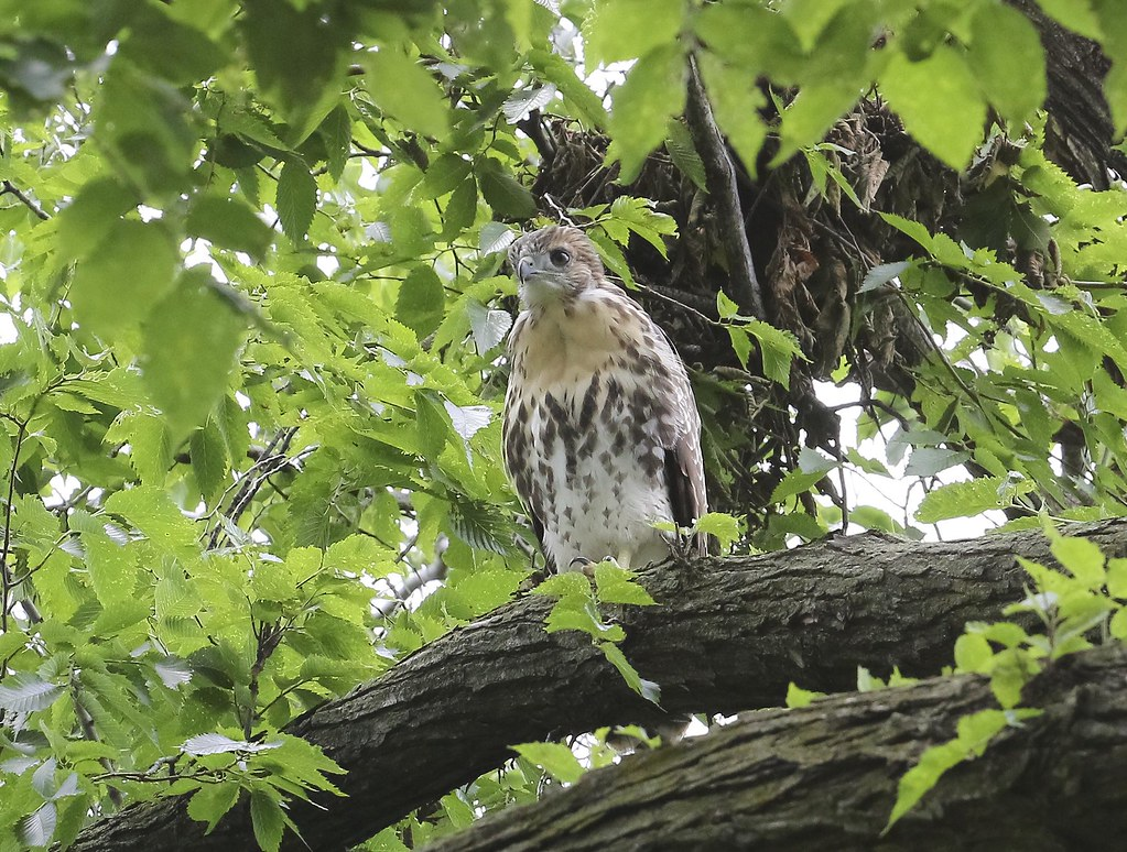 Tompkins Square fledgling #1