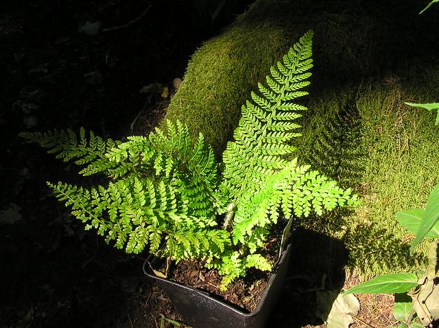 Polystichum setiferum ´Dahlem´