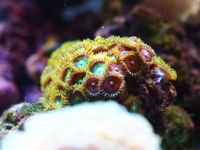 P7046242 鈕扣珊瑚