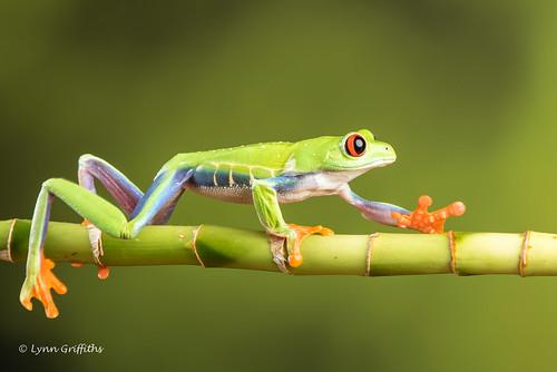 Red Eye Tree Frog D75_2737.jpg