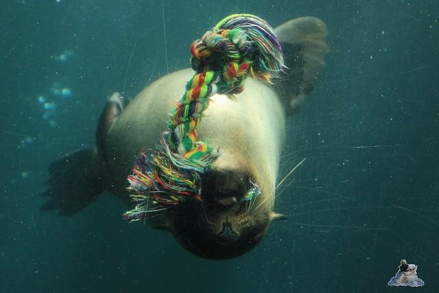 Eisbär Lili im Zoo am Meer 15.05.2016  109