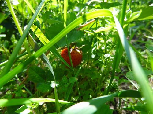 自然栽培のイチゴ