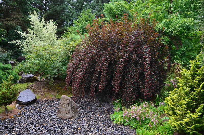 """Matsu Kaze"" (Wind in the Pines), Roger & Judy McElhaney garden, Vancouver, Washington"
