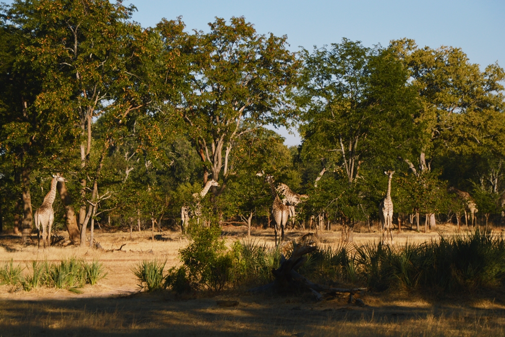 safari32