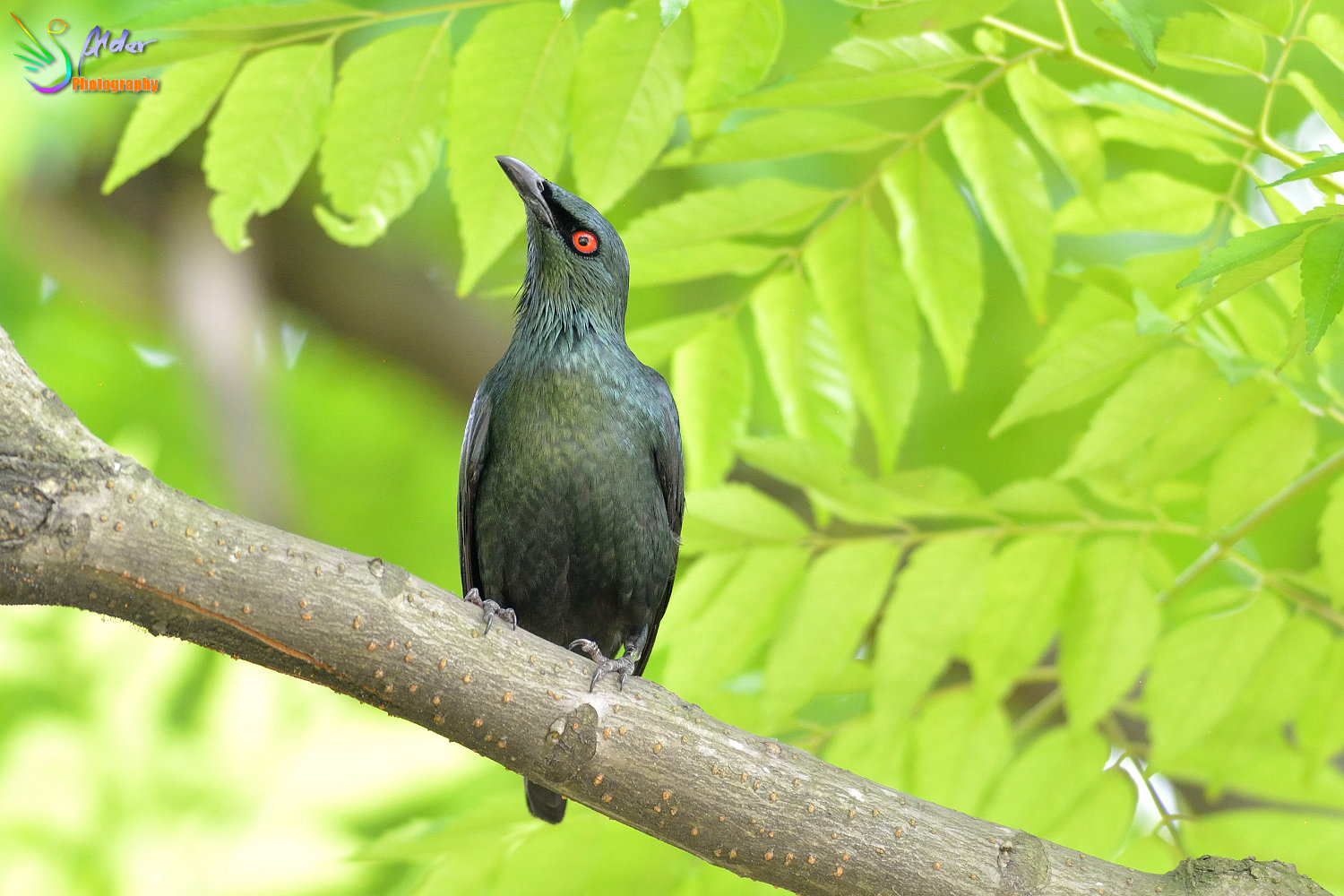 Asian_Glossy_Starling_7482