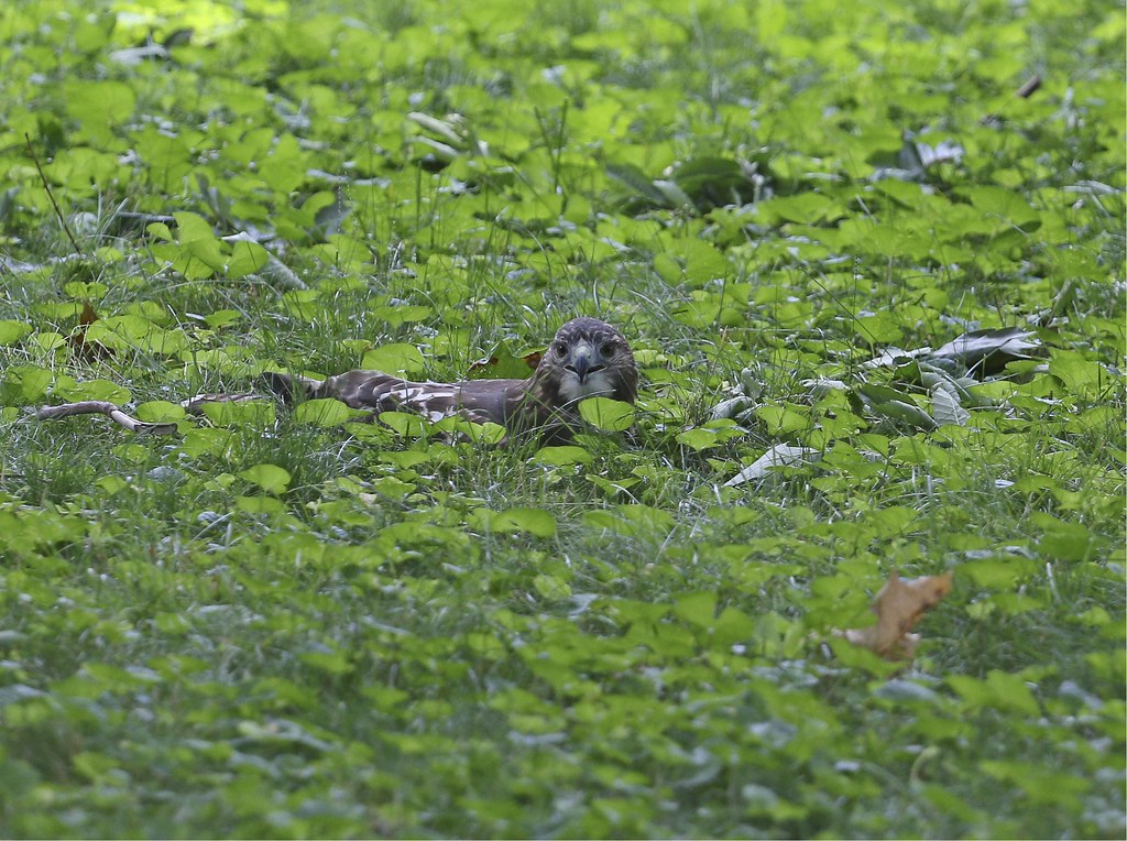 Hawk lounging in the grass