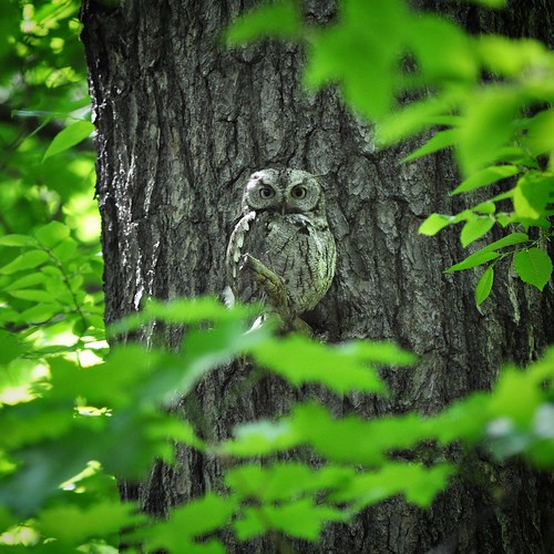 Eastern screech owl at Mud Lake