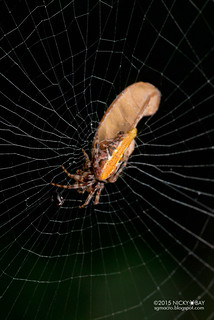 Trashline orb web spider (Cyclosa sp.) - DSC_9029