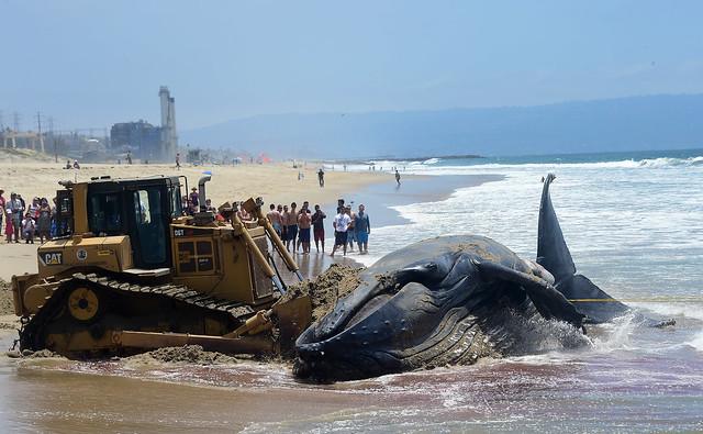 Wally, la ballena que apareció muerta en Playa del Rey, California