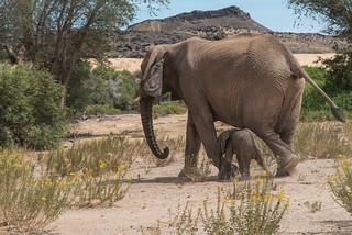 Wüstenelefanten und Wildflowers im Damarland
