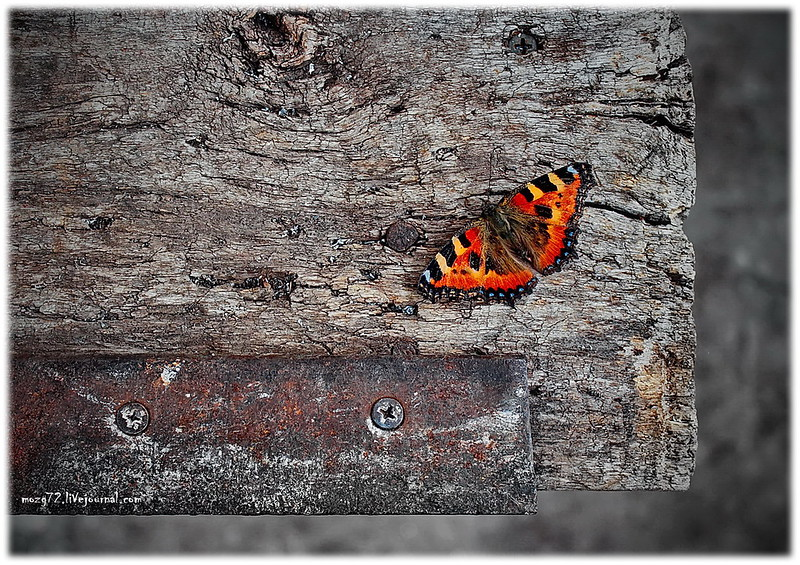 ...butterfly on old wood