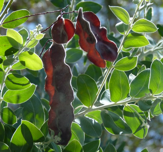 Acacia podalyriifolia 28052856164_28b158c42d_o