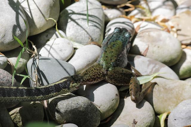 Frog and Snake 1