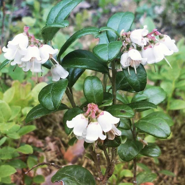 Цветущая #брусника Наверное, впервые её видела. Очень красиво! 💙 #цветение #природа #июнь #june #blossom #flowers #цветы
