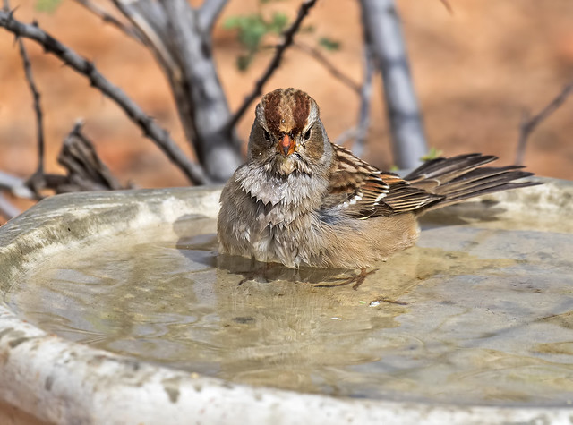 White-crowned-Sparrow-23-7D2-100816