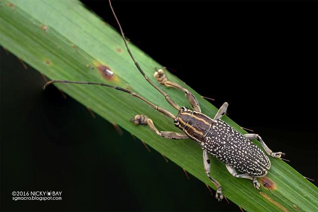 Longhorn beetle (Grammoechus atomarius) - DSC_0615