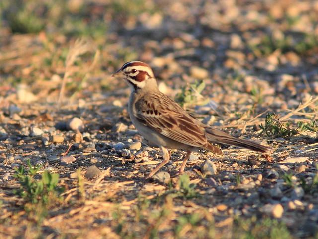 Lark Sparrow 06-20160618