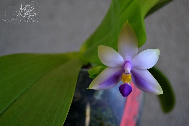 Phalaenopsis violacea coerulea : news !  28696511412_0c45c3f8a0_z