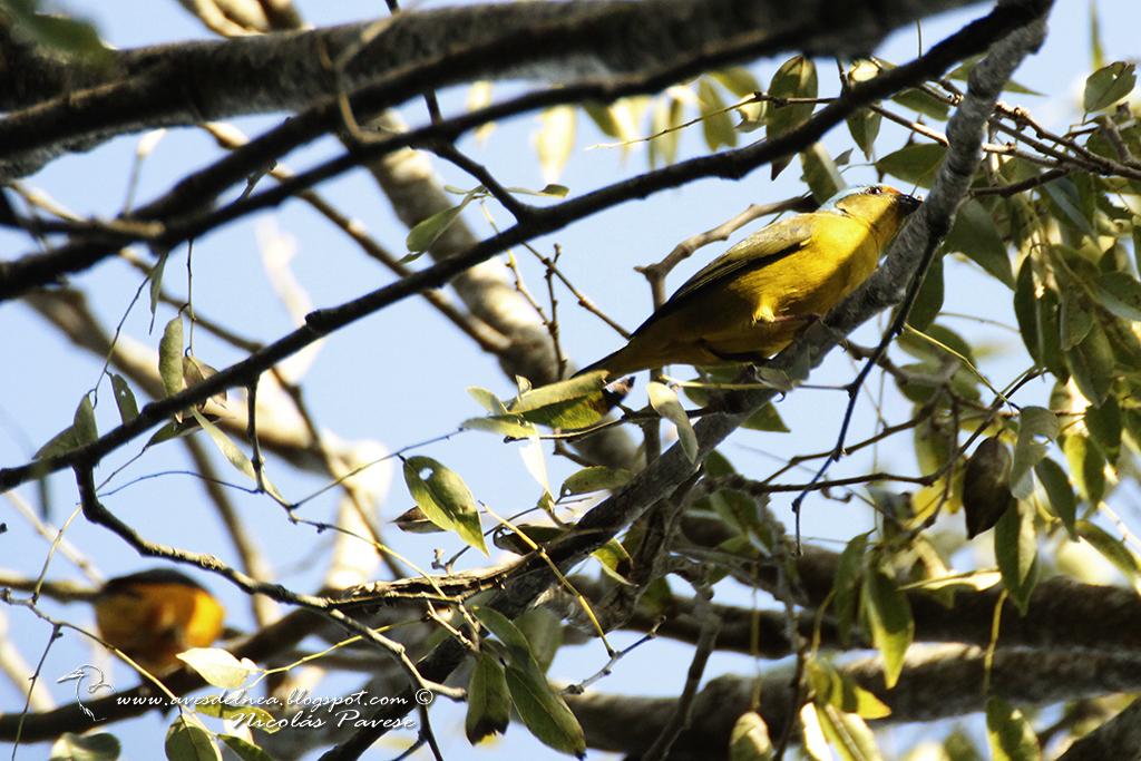 Tangará cabeza celeste (Golden-rumped Euphonia) Euphonia cyanocephala