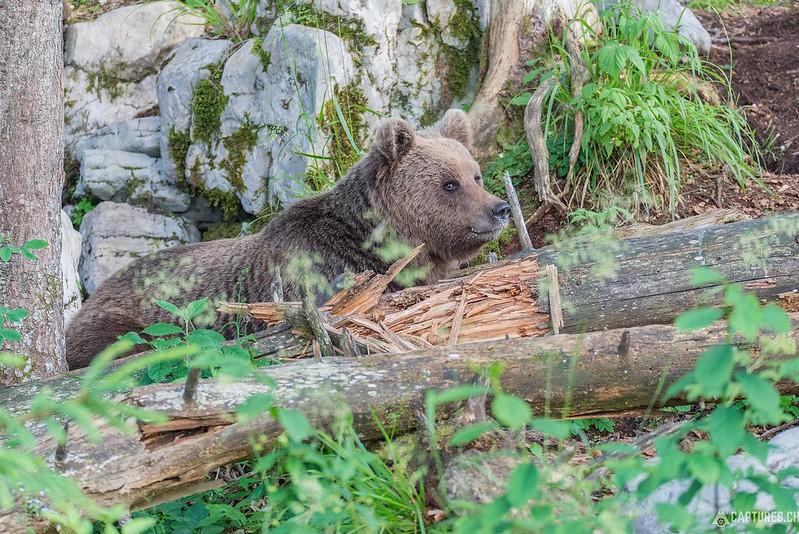 Brown bear 9 - Slovenia