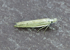 35.091 White-shouldered Sober - Sophronia semicostella