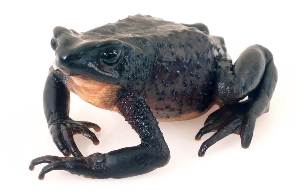 <i>Atelopus ignescens</i> Arlequin Jambato negro de páramo  ♀