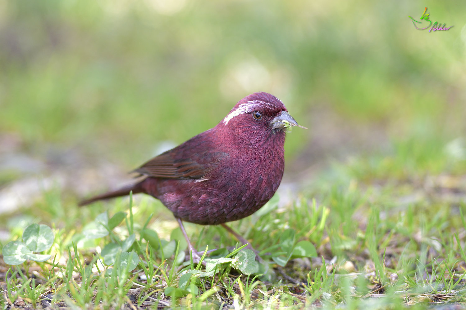 Vinacceus_Rose_Finch_4999