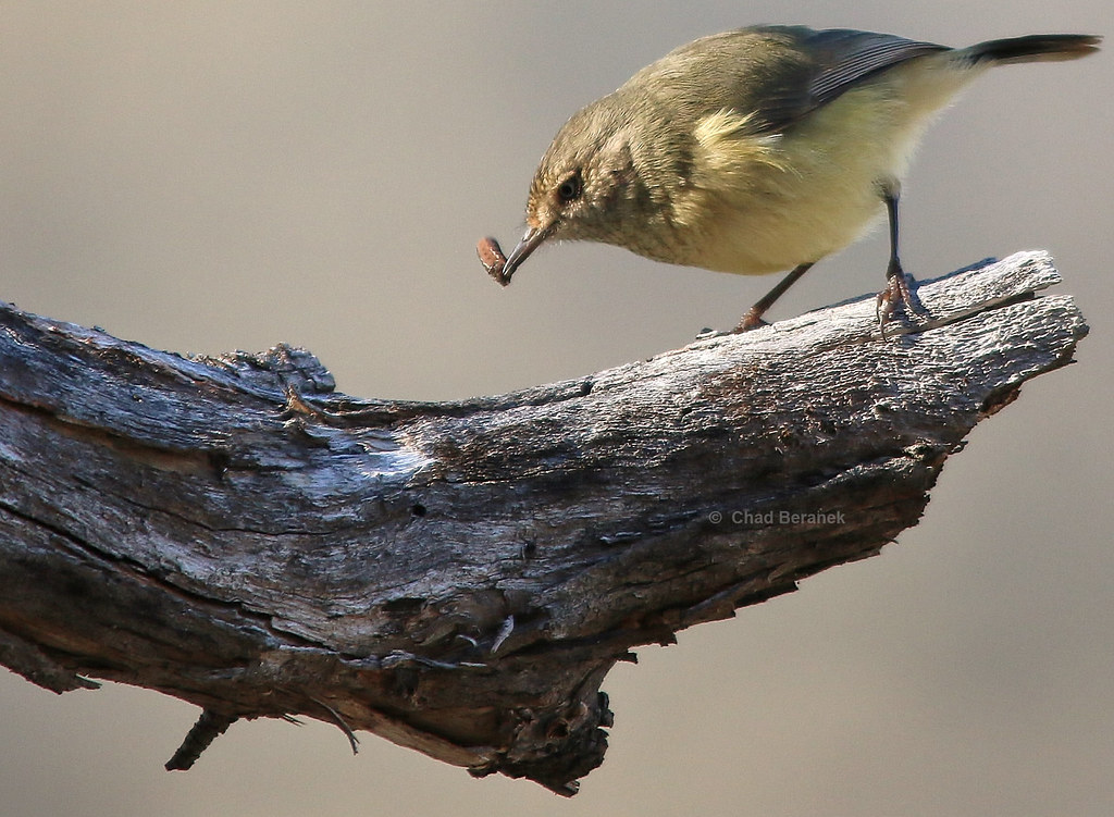 Buff-rumped Thornbill (Acanthiza reguloides)