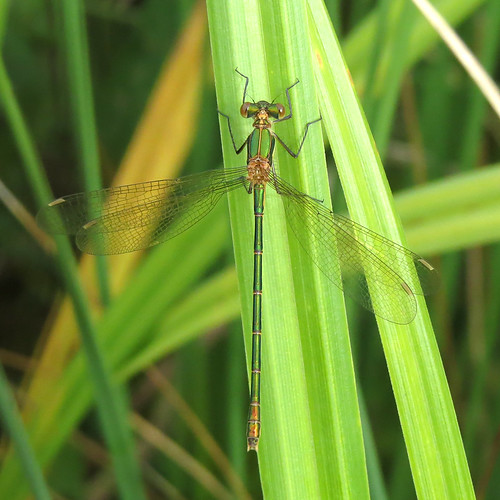 Emerald Damselfly Lestes sponsa Tophill Low NR, East Yorkshire July 2016