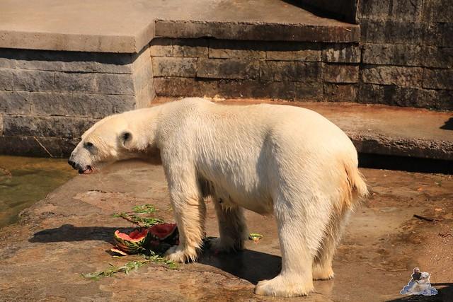 Eisbär Fiete im Zoo Rostock 04.06.2016   0200